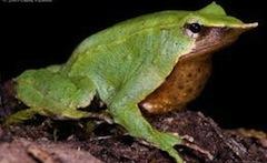Darwins_frog@body