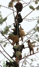 Bears-on-tree