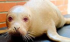 Ugly seal