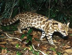 Newcat