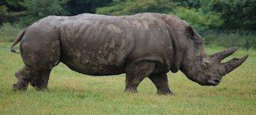 Black-rhino_1386760478_w520