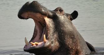 Opera hippo