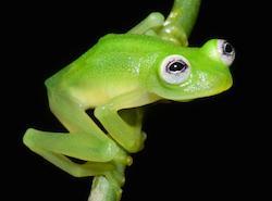 01glassfrog.adapt.1190.1