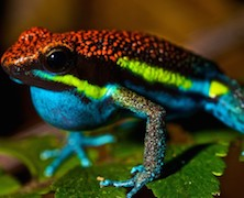 Frog-photo-31-poison-arrow-frog-728x485