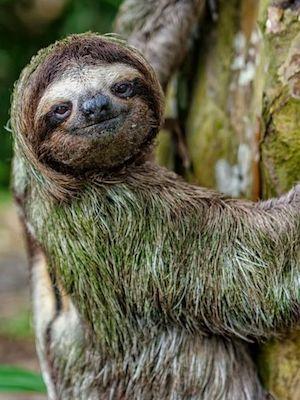 9f22c2f3f3feecba311f03a335c1f25c--the-sloth-costa-rica