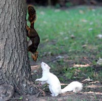 Albsquirrel3
