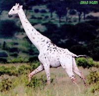 Albinogiraffe2