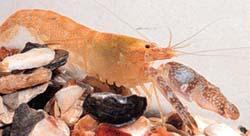 Pistolshrimp