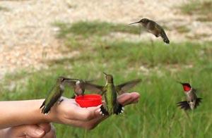 Hummingbirdshand