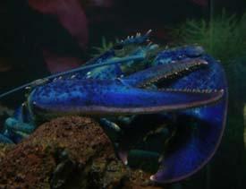 Bluelob