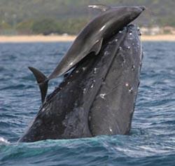 Dolphinwhale