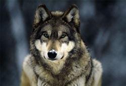 Greywolfsnow