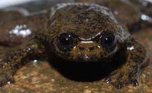 Lunglessfrog
