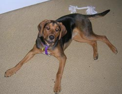 coonhound dolly she is called a black and tan coonhound