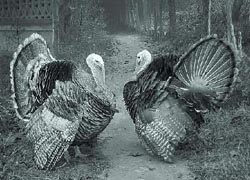 2turkeys