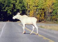 Albino_moose