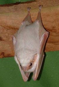 Albinobat3