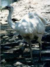 Albinorhea