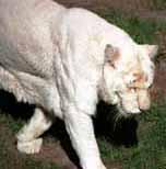 Albinotiger2_1