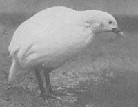 Albinowekarail