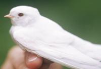 Albswallow