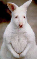 Albwallaby