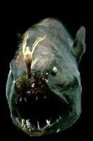 Anglerfish0
