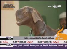 Arabgoat