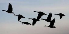 Canadageese_100804