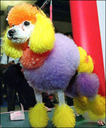 Coloredpoodle1