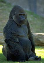 Gorillastaring