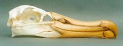 Gullbone