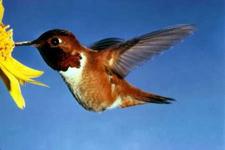 Hummingbird_062205