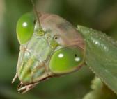 Mantiscloseup