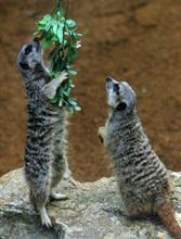 Meerkats_122204