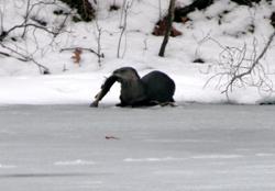 Ottercat