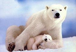 Polar_bearsmom_n_baby