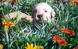 Puppy_in_flowers