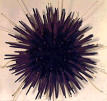 Purpleurchin