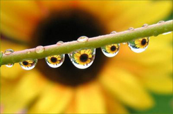Sun_flower_raindrops