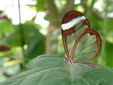 Transparent_butterflies6